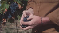 CU PAN Man's hands inspecting grapes / Zillah, Washington, USA