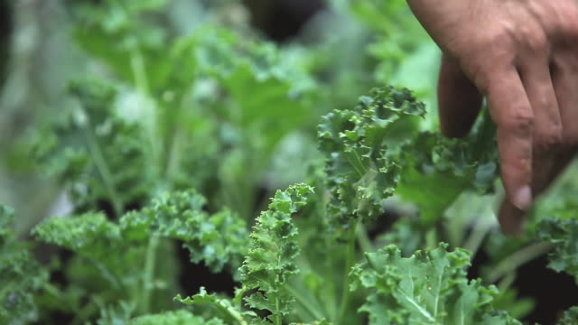 CU Man's hands picking kale / Jersey City, New Jersey, USA