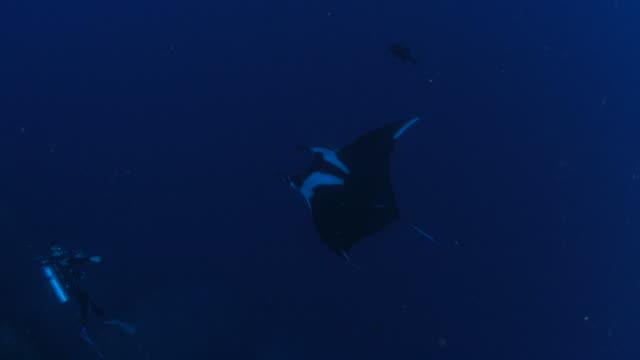 Manta ray flying undersea