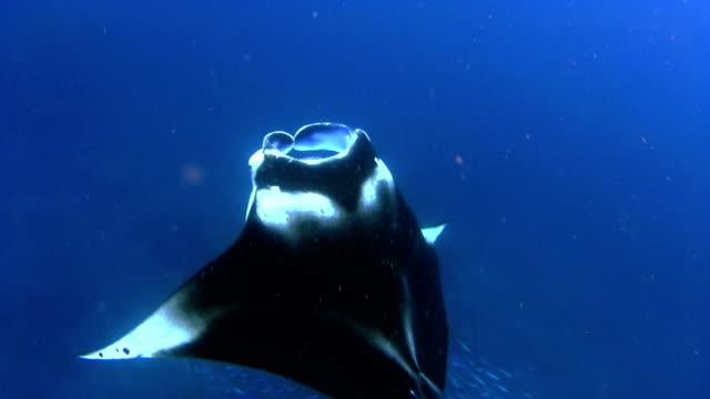 Manta Ray is feeding on Maldives