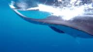 Manta Ray is feeding on Maldives.