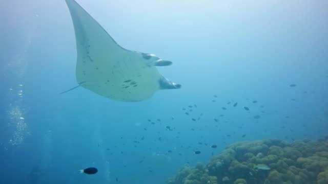 manta rays flying through the ocean