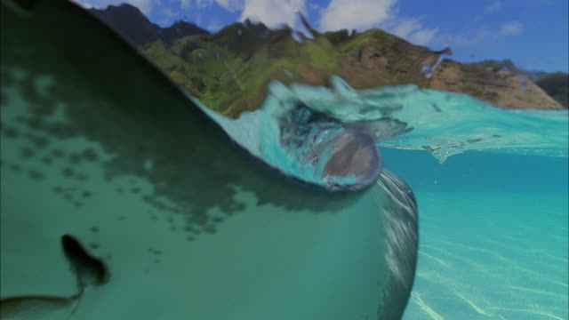 SLO MO CU Manta-ray (Manta birostris) on water surface / Moorea, Tahiti, French Polynesia