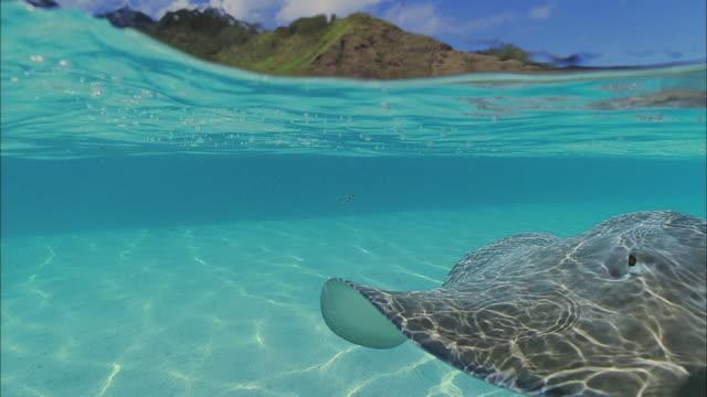 SLO MO CU Manta-ray (Manta birostris) swimming in ocean / Moorea, Tahiti, French Polynesia