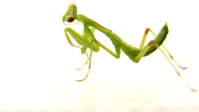 Mantis cleaning itself