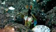 Mantis shrimp washes face