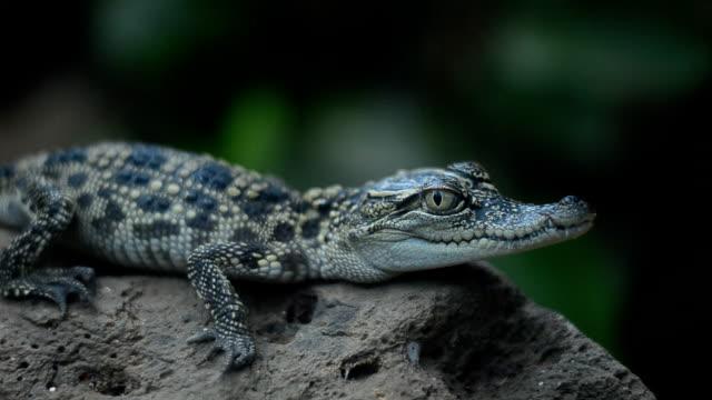 Manual at Crocodile