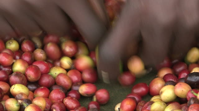 Manually sorting of harvested Fairtrade coffee beans