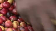 Manuelle Sortierung von geerntet Fairtrade Kaffee Bohnen