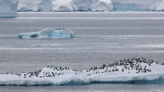 Many Adelie Penguins on Icebergs
