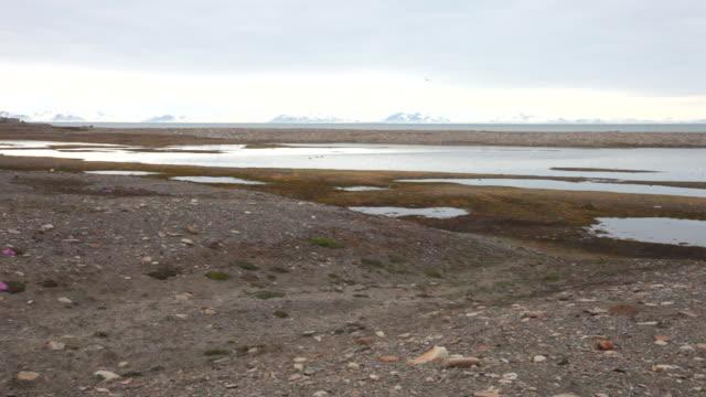 Many arctic birds flying around a wetland at Laguna Bird Area near Longyearbyen airport, Spitsbergen, Svalbard