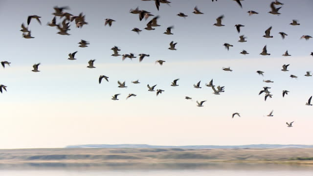 Many birds flying over a water pond