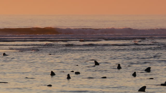 Many seals bobbing in ocean at sunrise, orange sky