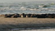 CU Many Seals on sandbar, ocean waves in background, PAN LEFT
