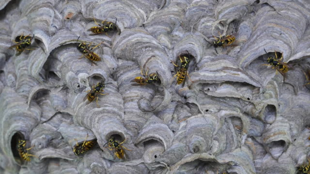 Many wasps builds a nest