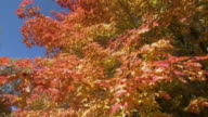 CU TU LA Maple tree in Fall colors, Tweed, Ontario, Canada