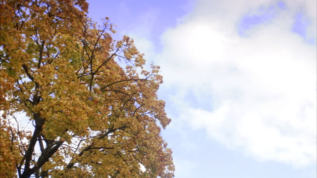 A maple tree in the autumn Sweden.