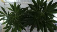 Marihuana-Pflanzen mit Infrarot Licht in einer Box mit brechen papper