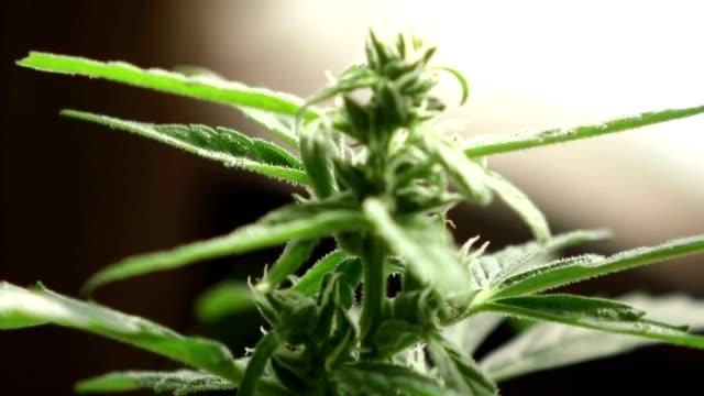 Marijuana Cannabis Fiori