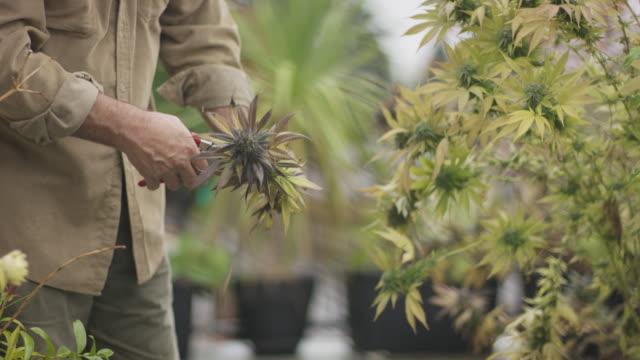 Marijuana farmer tending to his plants