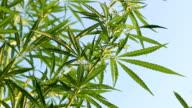 cannabis ganja cannabis