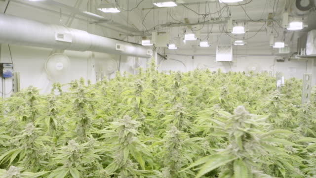4K UHD: Marijuana Growing in Controlled Environment