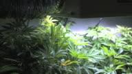 cannabis, medico, egiziano, plant, dell'hashish, pot