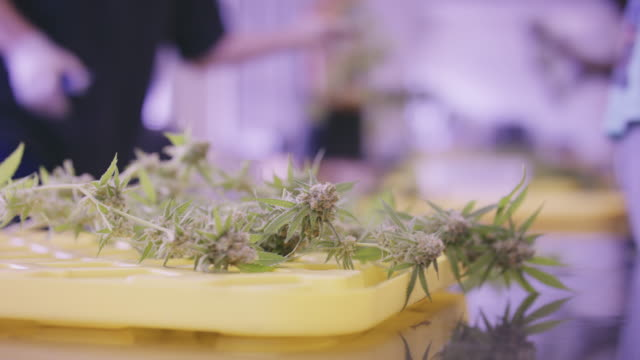 4K UHD: Marijuana Plant being Harvested on Table