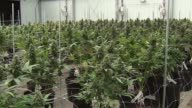 WGN Marijuana Plants at a medical marijuana dispensary and cultivation site outside of Chicago on Sept 12 2016