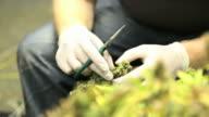 Marijuana, weed, buds, cannabis, plant, pot