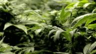 cannabis, egiziano, i boccioli, dell'hashish, plant, pot