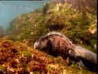 Marine iguana eats algae in shallow water, Galapagos