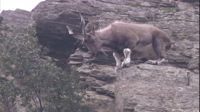 A markhor feeds on the top of a tree from a high rock. Available in HD.