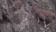 A markhor negotiates a steep rocky mountainside. Available in HD.