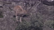 A markhor perches in a tree as it feeds on leaves. Available in HD.