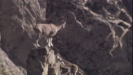 A markhor stands on a high rock, Pakistan. Available in HD.