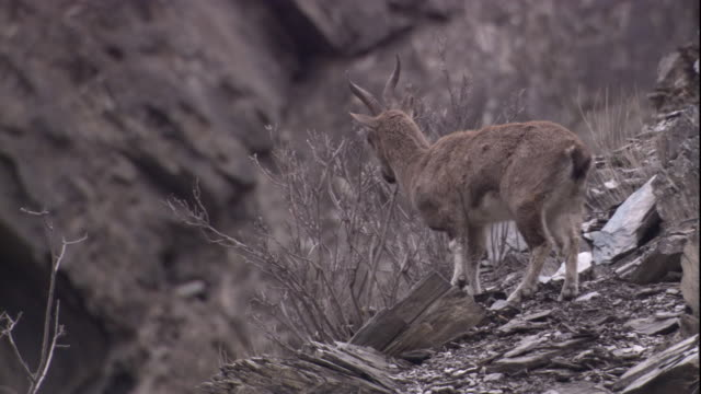 A markhor walks off along a steep mountainside. Available in HD.