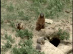 HA, MS, Marmot family at den, Alberta, Canada