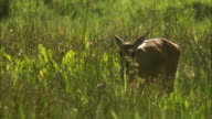 MS PAN Marsh Deer (Blastocerus dichotomus) grazing in grassy field / Pantanal, Mato Grosso do Sul, Brazil