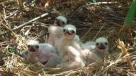 Marsh Harrier Chicks Close-up