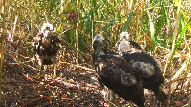 Marsh Harrier Chicks Waiting for Food
