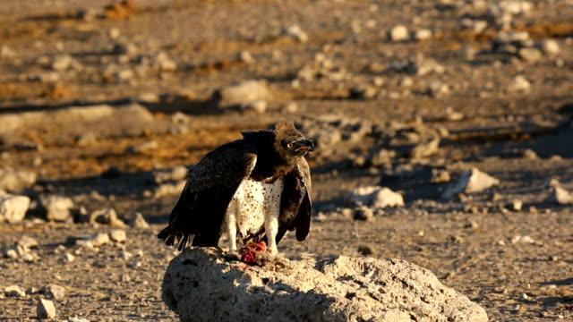 Martial Eagle hunting Helmeted guineafowl, Atosha