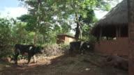 Martins Cows
