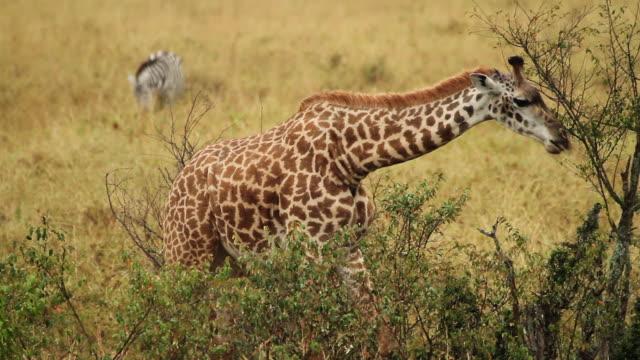 Masai Giraffe (Giraffa camelopardalis tippelskirchi) ats tree leaves