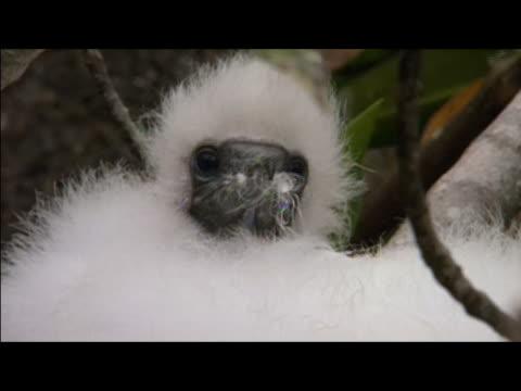 Masked booby (Sula dactylatra)  chick lying in nest / Genovesa Island, Galapagos Islands