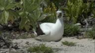 WS ZI CU Masked Booby (Sula dactylatra) incubating eggs / Henderson Island, Pitcairn