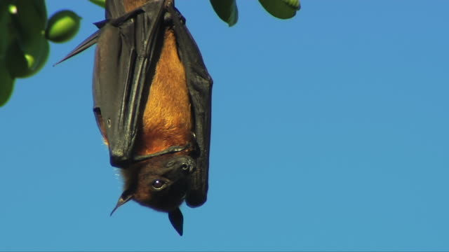 MS Masked Flying Fox (Pteropus vampyrus) or Fruit bat hanging against clear blue sky with folded wings around his fury body / South Africa