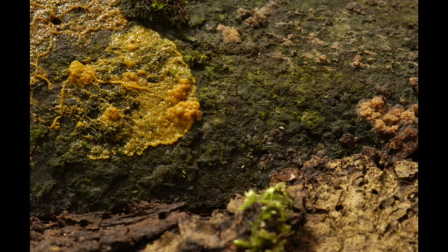A mass of slime mold pulsates as it spreads over the moss-covered ground. Available in HD.