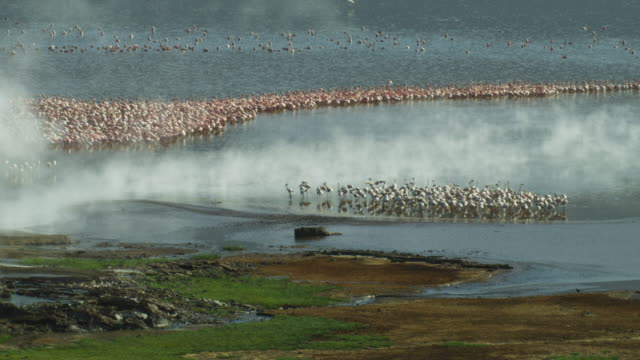 HA WS PAN massed flamingoes on edge of Lake Bogoria with geyser in foreground