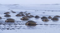 WS massed group of female Olive Ridley turtles crawling up beach